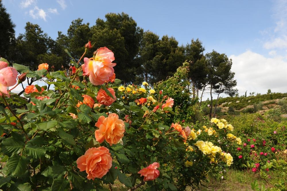 004-roseraie