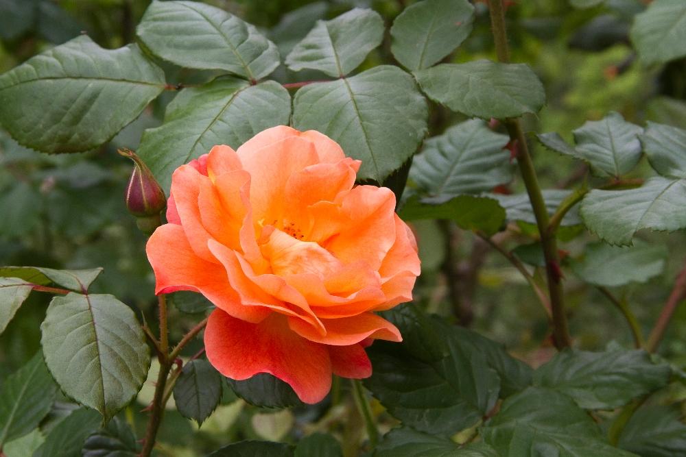 008-roseraie