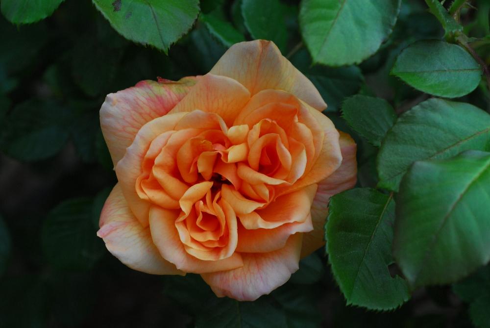 011-roseraie