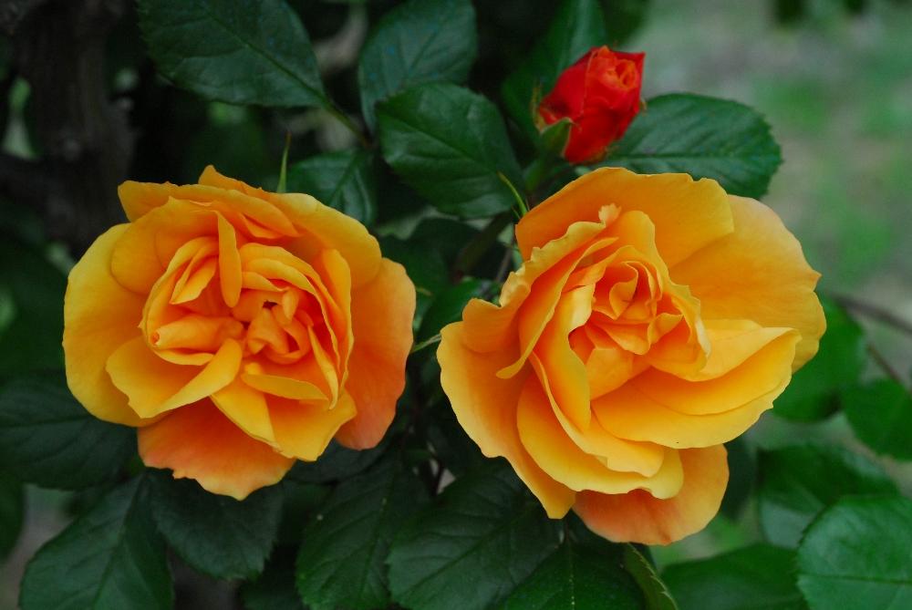 012-roseraie