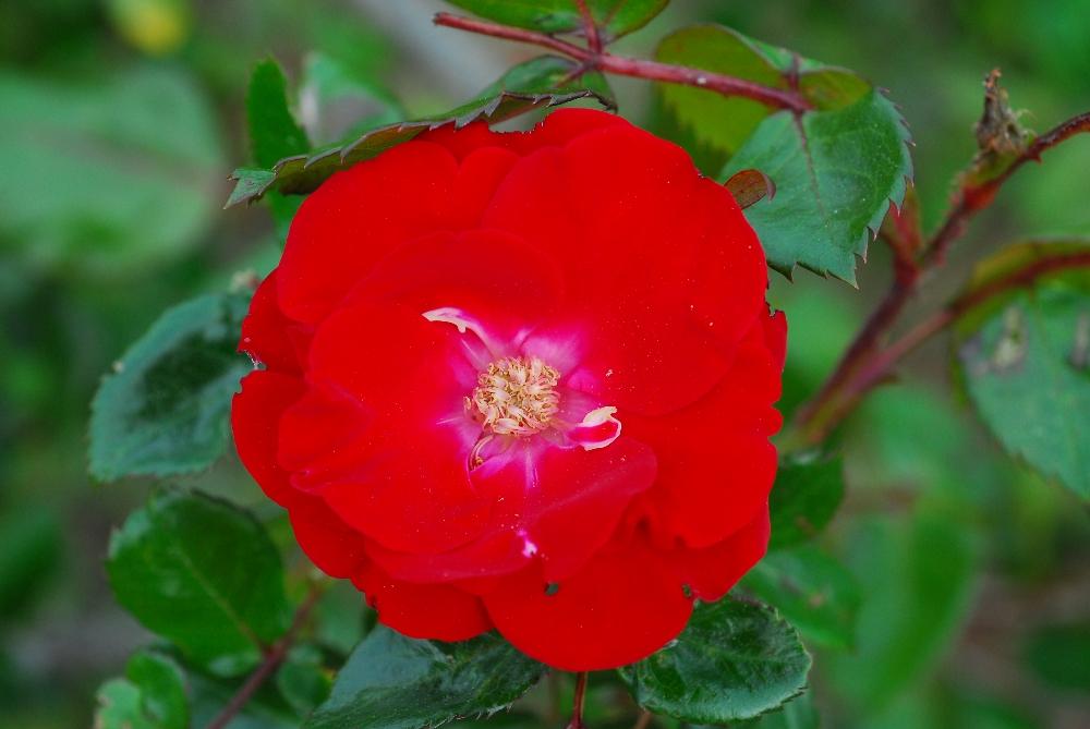 014-roseraie