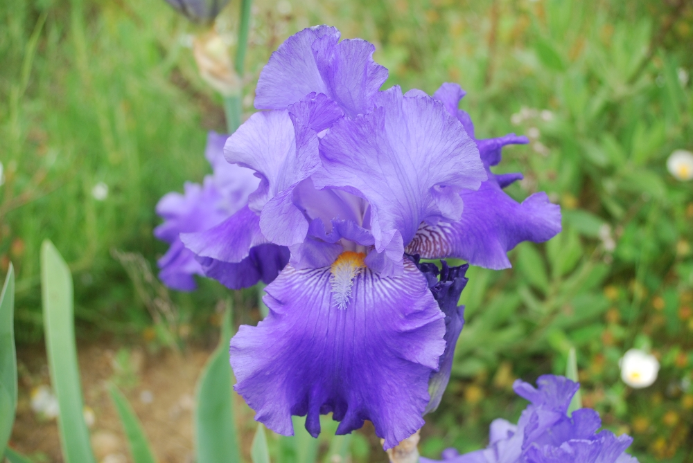016-iris