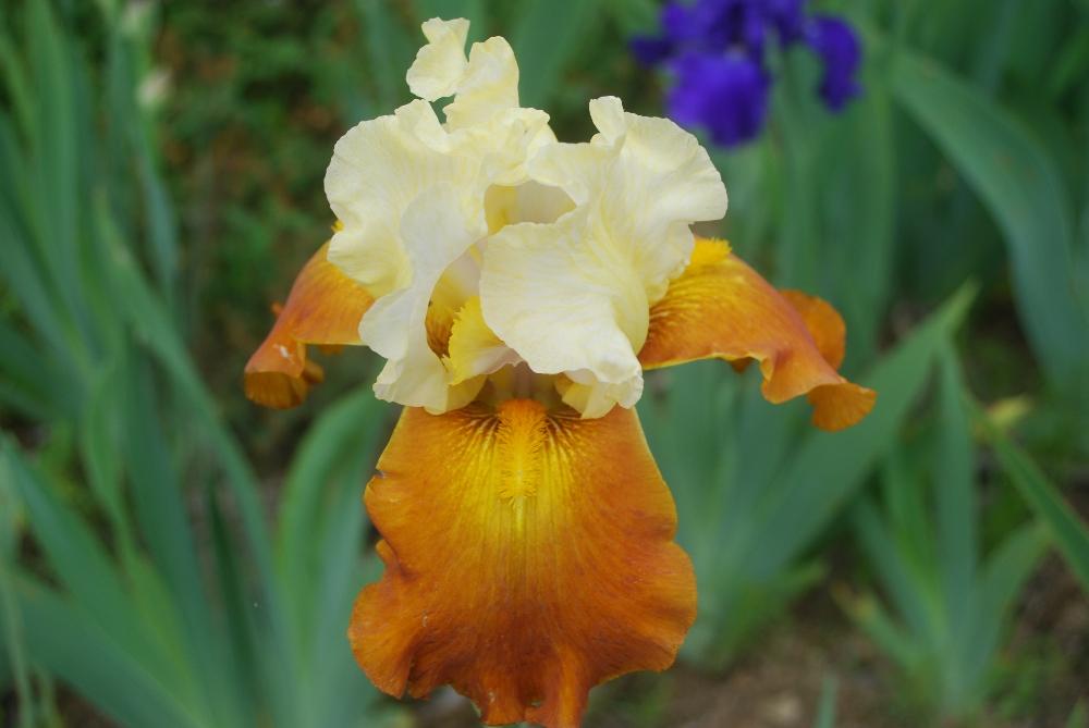 017-iris