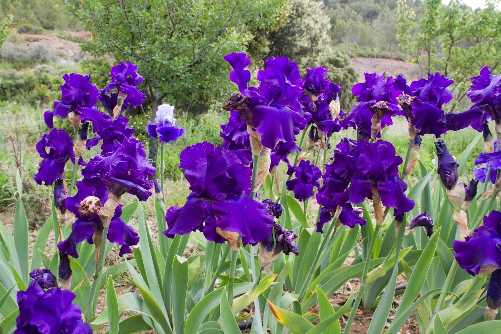 020-iris