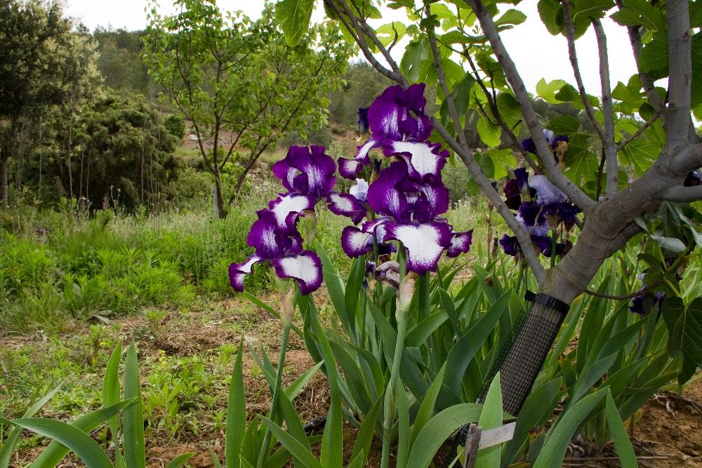 021-iris