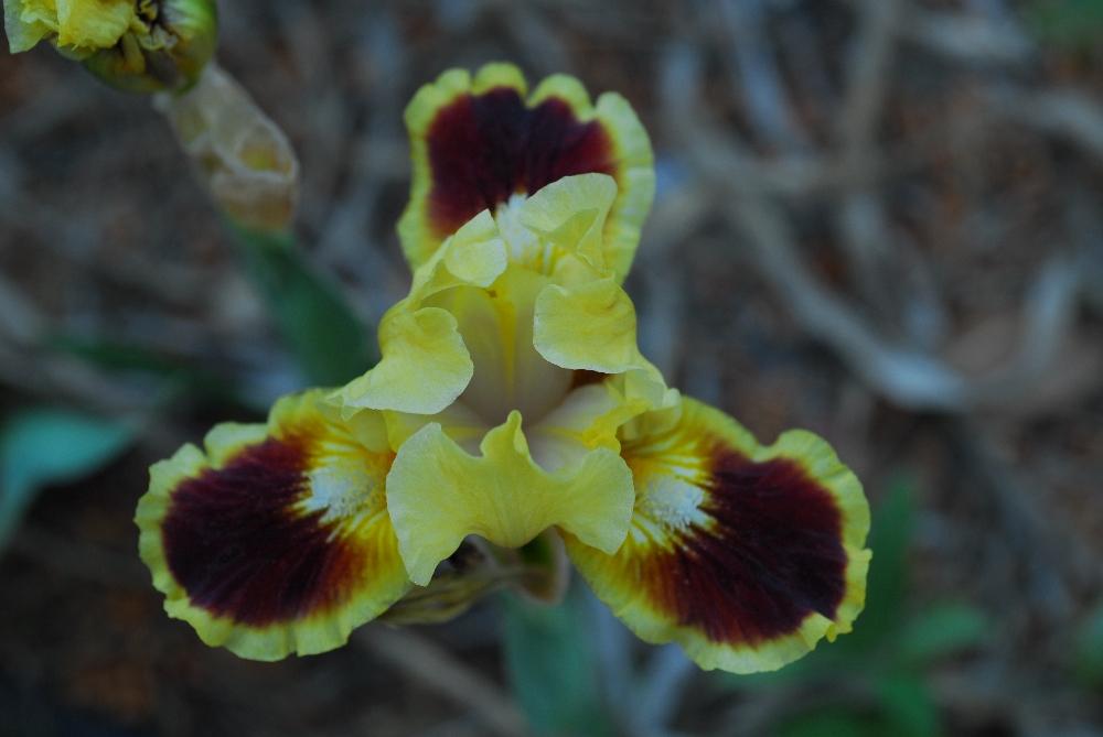 022-iris