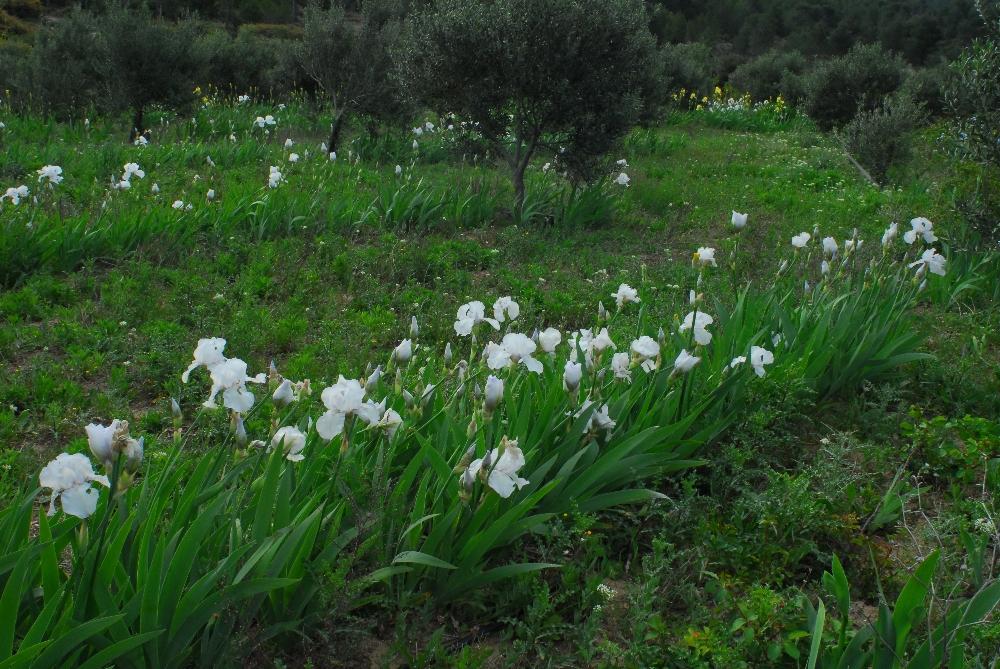 026-iris
