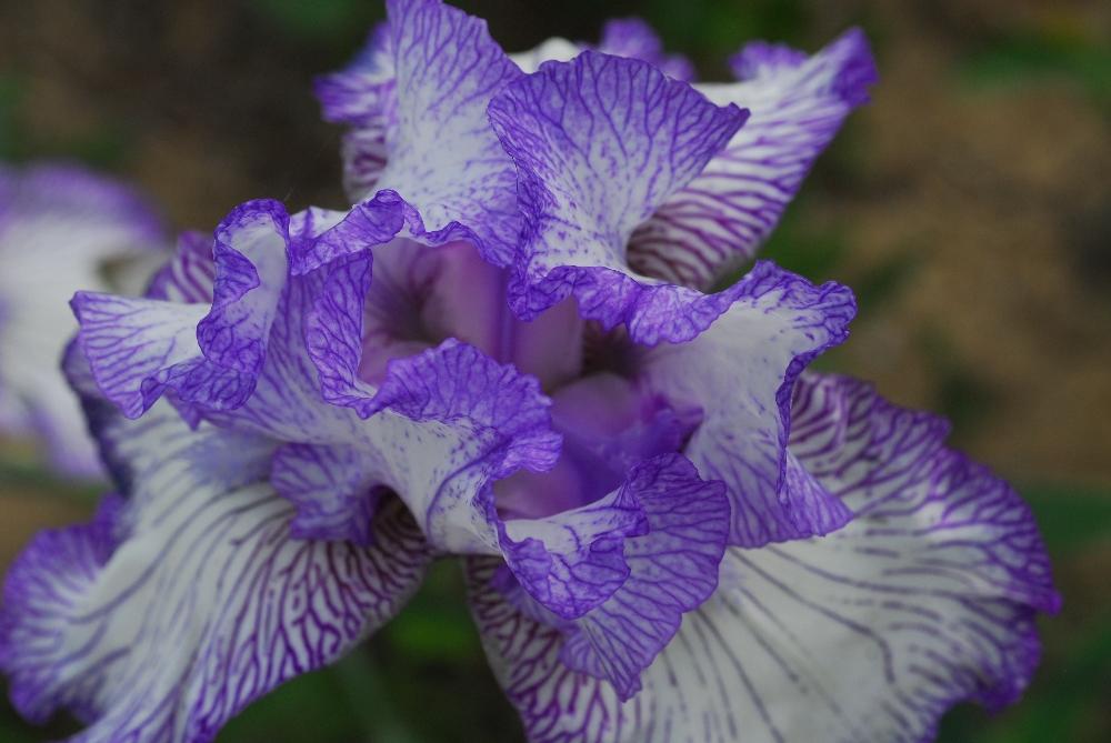027-iris