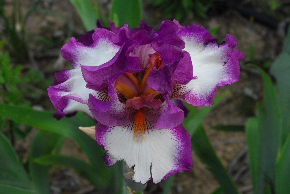 029-iris