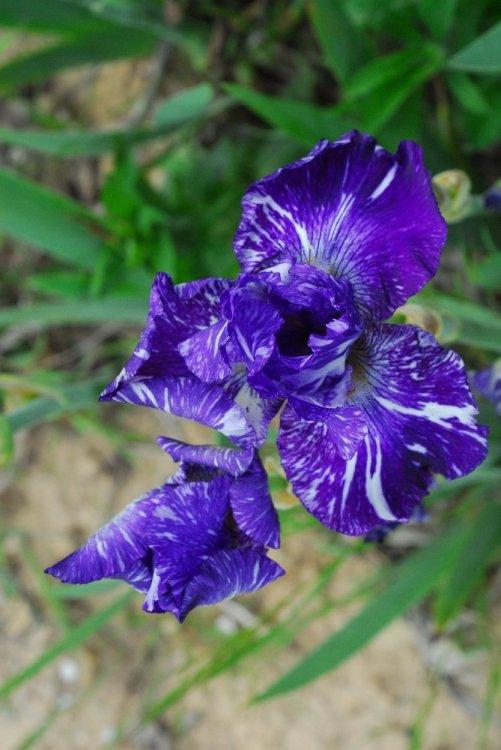 030-iris
